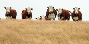 manejo del ganado bovino en sequia