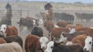 produccion de carne bovina