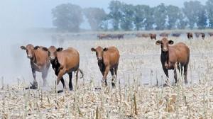manejo del ganado vacuno durante tiempos de escases hidrica