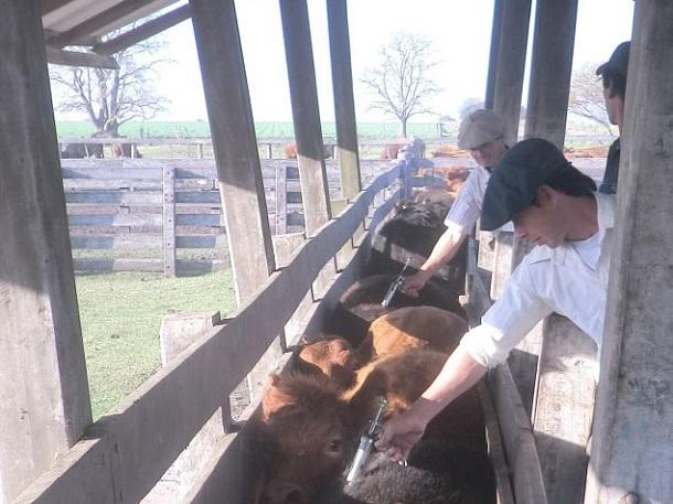 manejo del ganado vacuno
