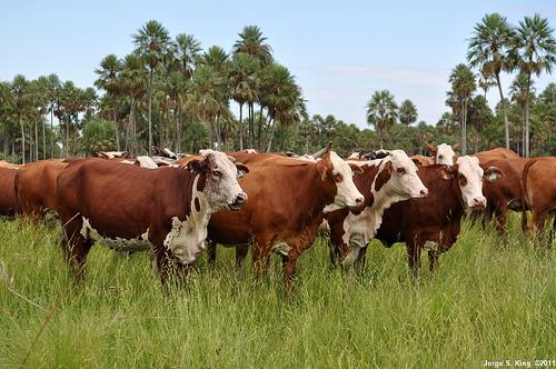 Márgenes ganaderos, al día y a un click