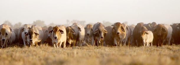 Los desafíos de la ganadería australiana en los próximos años