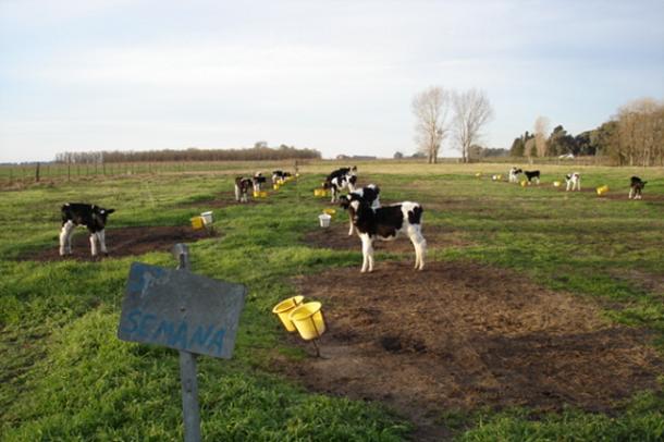 ganaderia lecheria - manejo del ganado vacuno formar al rumiante - imagen 0