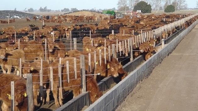 Menos terneras encerradas en feed lot durante el 2015